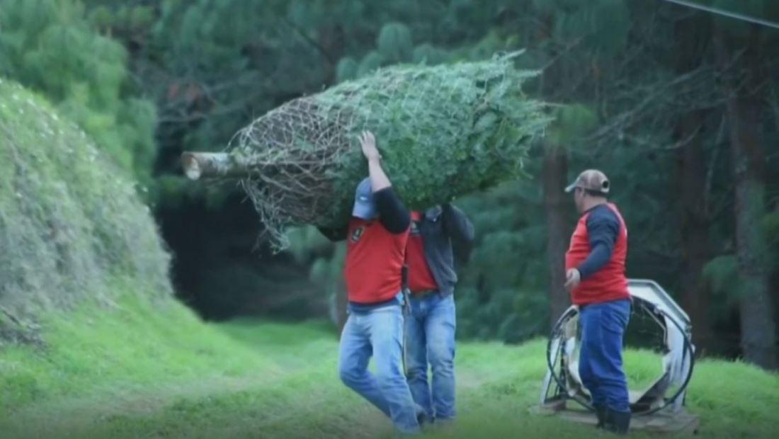Guatemala busca proteger árbol nativo amenazado por la época navideña