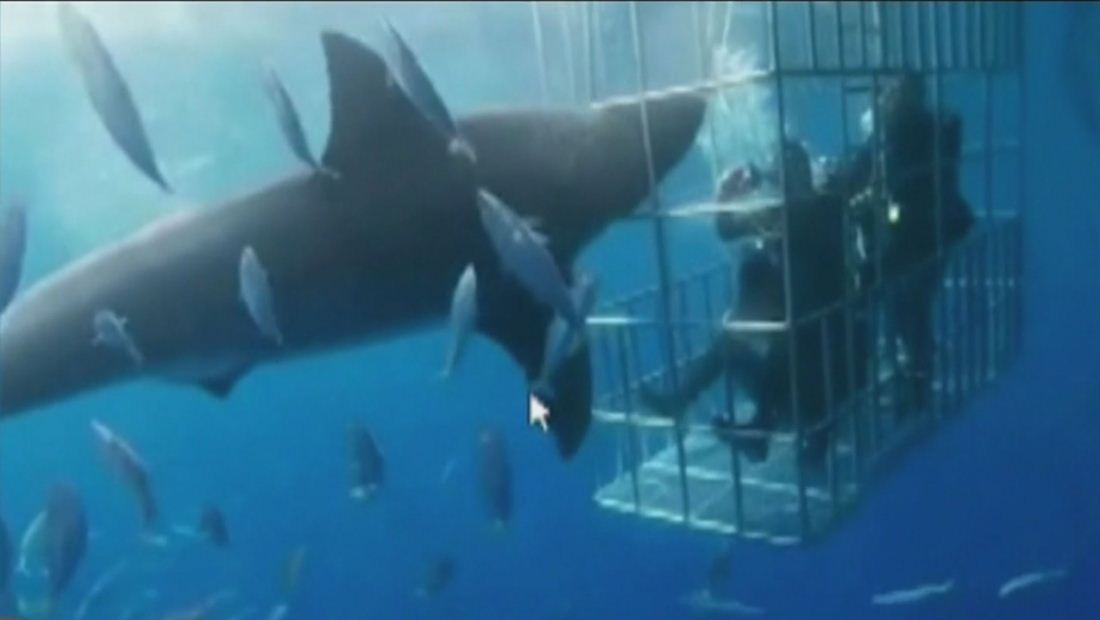 Tiburón blanco muere desangrado al quedar atrapado en jaula de turistas