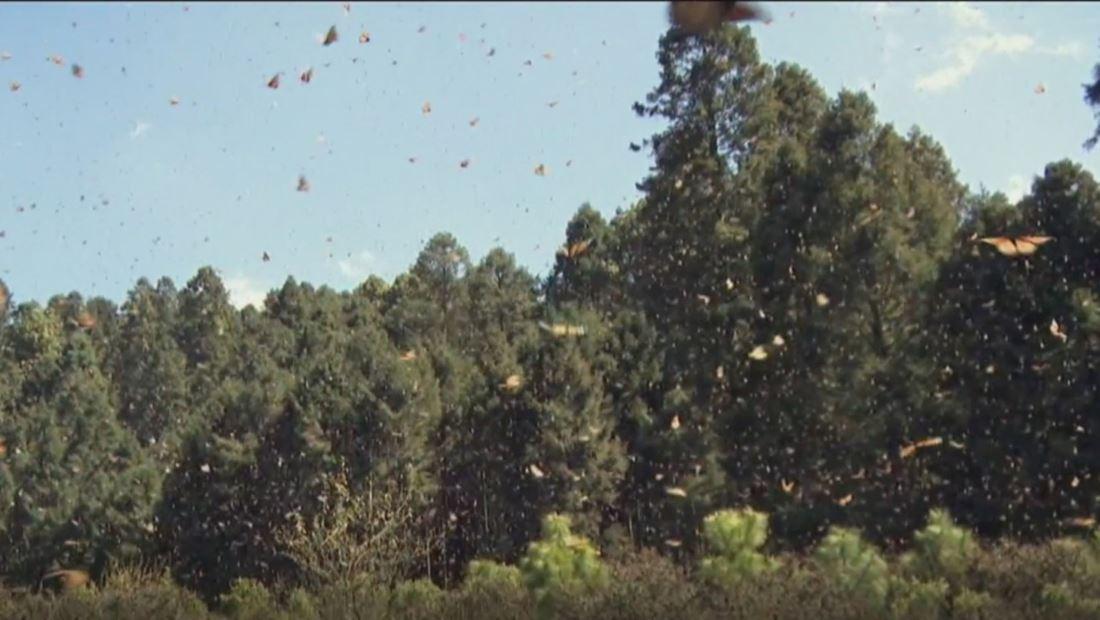 La emergencia climática también golpea duro a la mariposa monarca
