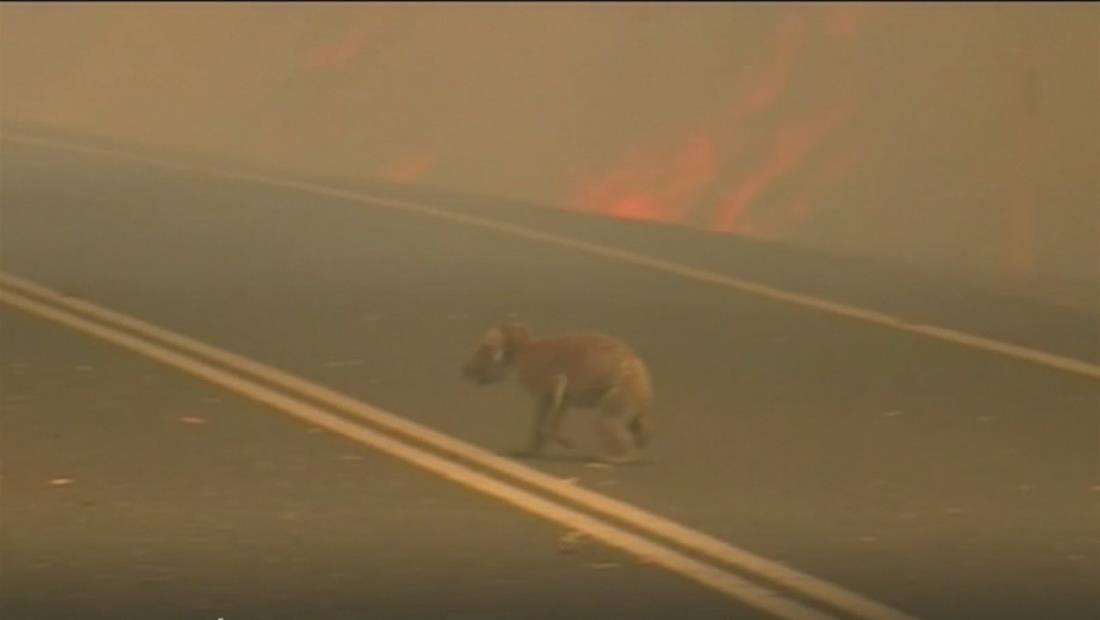Los incendios matan a cientos de koalas y amenazan su hábitat en Australia