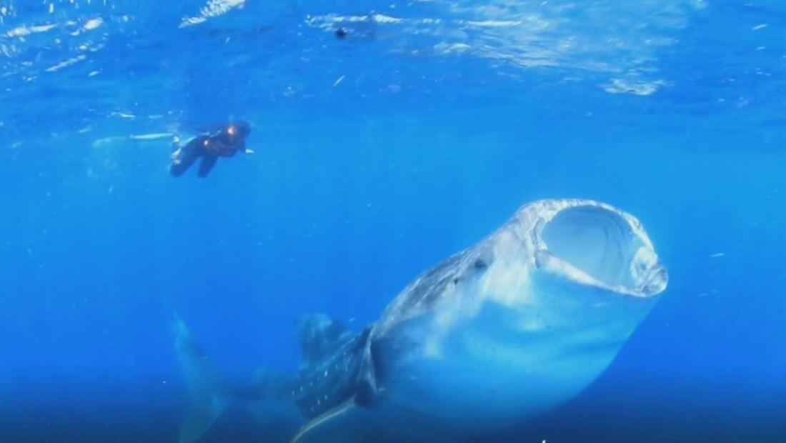 Luchan para salvar el tiburón ballena que está en peligro de extinción