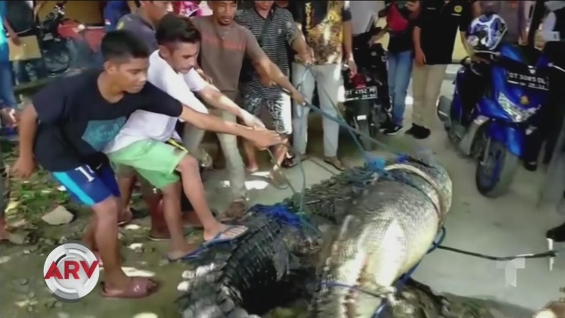 Capturan un cocodrilo de 16 pies de largo en Indonesia