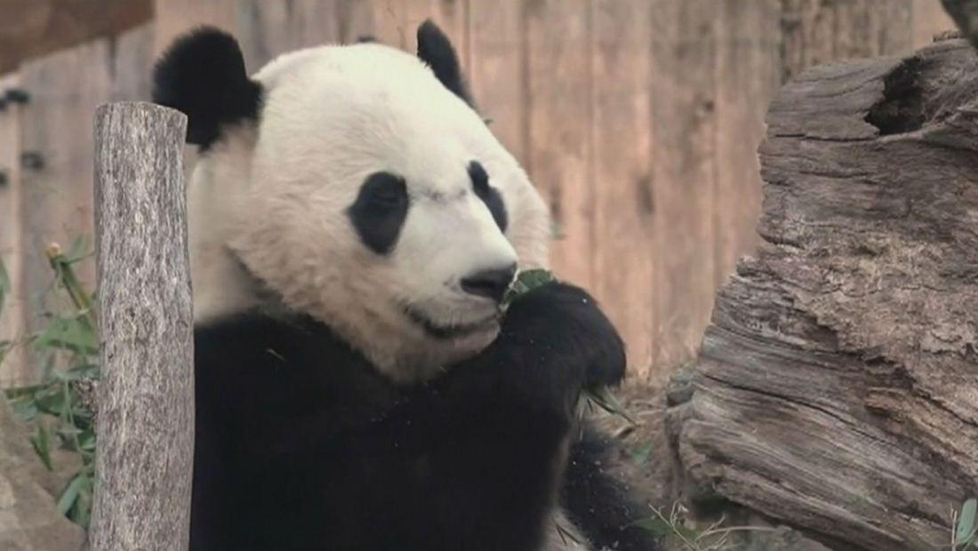 """Estados Unidos le dice 'bye bye"""" al panda Bei Bei"""