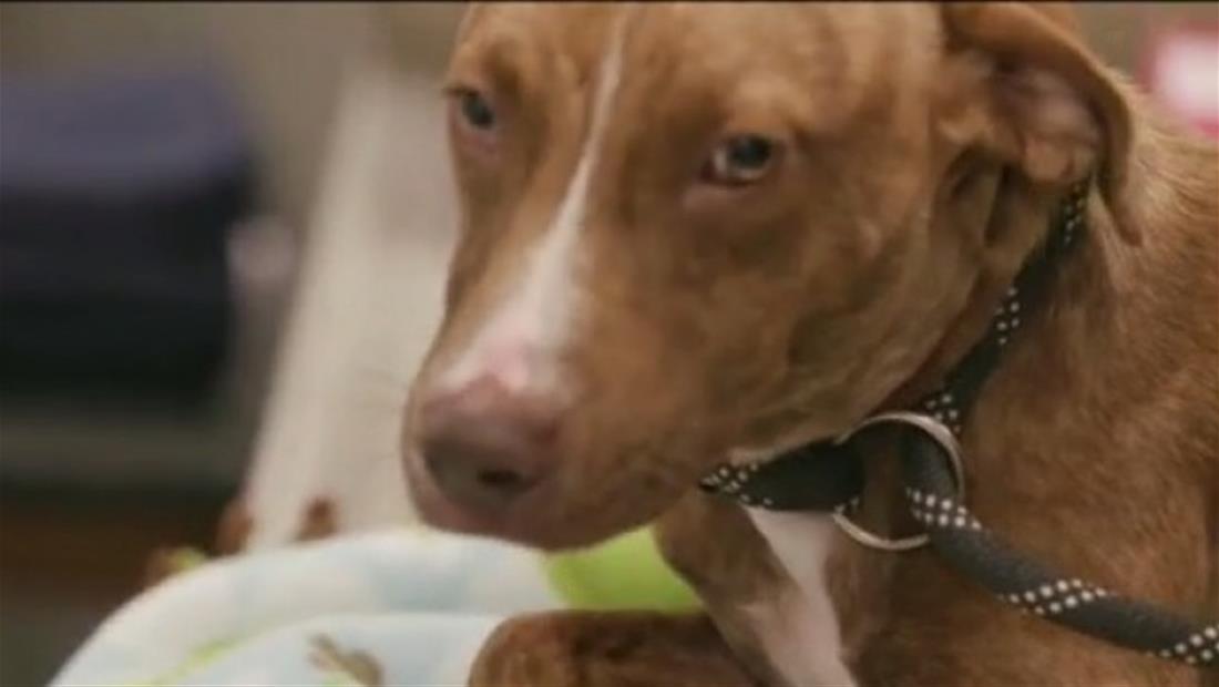 Perro salvado entre escombros de huracán Dorian hoy recibe el amor de una familia