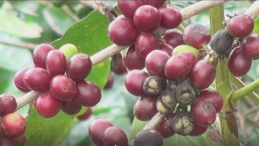 Estados Unidos invertirá 64 millones de dólares para estimular la producción de café y cacao en El Salvador