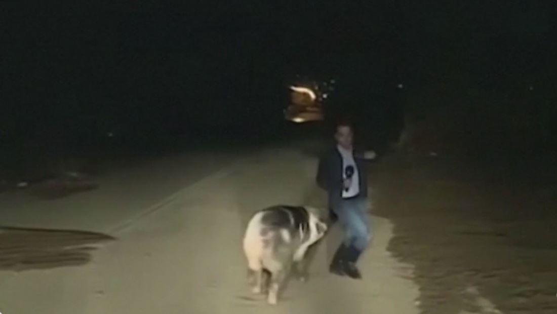 Cerdo persigue a reportero en medio de una transmisión en vivo